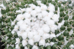 Mammillaria仙人掌 免版税图库摄影