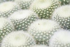 Mammillaria仙人掌 免版税库存图片