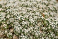 Mammillaria仙人掌 库存图片
