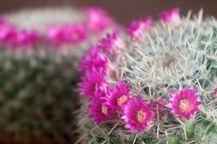 Mammillaria Image libre de droits