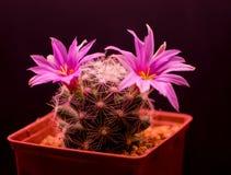 Mammillaria boolii 免版税库存照片