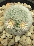 Mammillaria boscana kwiat Obraz Royalty Free