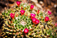 Mammillaria Cactus in bloom Stock Images