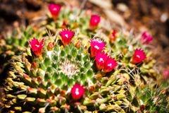 Mammillaria Cactus in bloom Stock Images