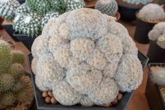 Mammillaria cactus Cactaceae. Mammillaria is one of the largest genera in the cactus family Cactaceae, with currently 200 known species and varieties recognized stock photography
