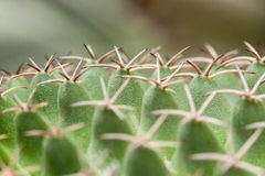 Mammillaria, Cactus Stock Photos