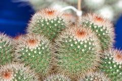 Mammillaria, Cactus Royalty Free Stock Image