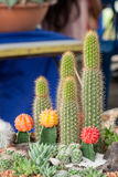 Mammillaria, Cactus Royalty Free Stock Photography