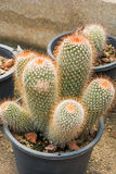 Mammillaria or cactus Royalty Free Stock Image