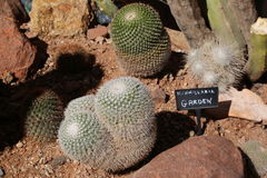 Mammillaria cactus. Garden located in the Arizona desert Stock Photo