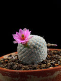 Mammillaria Cactus Stock Images