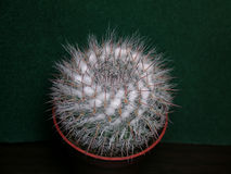 Mammillaria cactus Royalty Free Stock Image