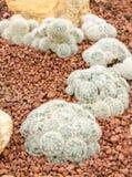 Mammillaria cactus plant Stock Photography