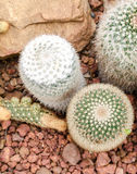 Mammillaria cactus plant Royalty Free Stock Photography