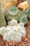 Mammillaria cactus plant Stock Photos