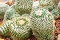 Mammillaria cactus plant Stock Image