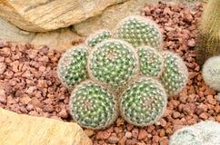 Mammillaria cactus plant Royalty Free Stock Photos