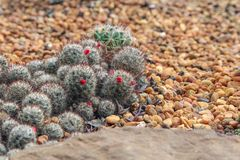 Mammillaria Cactus with red seeds. Royalty Free Stock Images