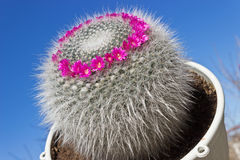 Mammillaria cactus on sky background Royalty Free Stock Photos