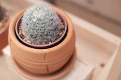 Mammillaria cactus Stock Photo