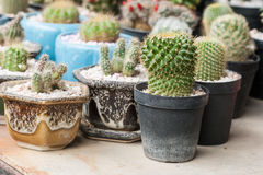 Mammillaria, Cactus Royalty Free Stock Photos