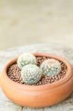 Mammillaria carmenae in clay pots Royalty Free Stock Photos