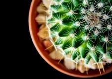 Mammillaria d'espèces de cactus sur le fond noir Images libres de droits