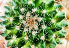 Mammillaria d'espèces de cactus sur le fond noir Image libre de droits