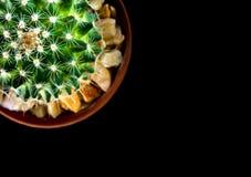 Mammillaria d'espèces de cactus sur le fond noir Photos libres de droits