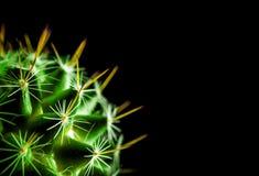 Mammillaria d'espèces de cactus sur le fond noir Photographie stock libre de droits
