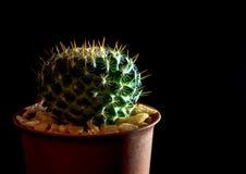 Mammillaria d'espèces de cactus sur le fond noir Photos stock