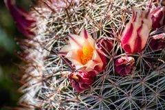 Mammillaria dioica  also called the strawberry cactus, California fishhook cactus, strawberry pincushion or fishhook cactus. Blooming in Anza Borrego Desert royalty free stock photography