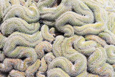 Mammillaria elongata, brain cactus Royalty Free Stock Images