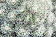 Mammillaria geminispina Stockfotografie