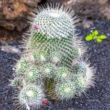 Mammillaria Geminispina in Jardin de Cactus,  Lanzarote, Spain Royalty Free Stock Photos