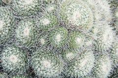 Mammillaria geminispina Stock Photography