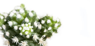 Mammillaria gracilis arizona snow cactus or snowcap. Isolated on white background Royalty Free Stock Photography