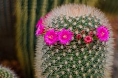 Mammillaria grahamii, cactus flowers. In the garden Royalty Free Stock Images