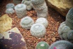 Mammillaria hahniana clump, Cactus in garden has a brown stone around, Cacti, Cactaceae, Succulent, Tree, Drought tolerant plant. Mammillaria hahniana clump royalty free stock photo