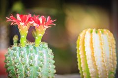 Mammillaria kwitnienia kaktusowy czerwony kwiat dla sprzedaży przy drzewną oceną Obraz Stock