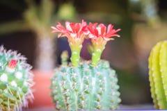 Mammillaria kwitnienia kaktusowy czerwony kwiat dla sprzedaży przy drzewną oceną Obraz Royalty Free