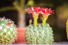 Mammillaria kwitnienia kaktusowy czerwony kwiat dla sprzedaży przy drzewną oceną Zdjęcie Royalty Free