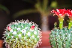 Mammillaria kwitnienia kaktusowy czerwony kwiat dla sprzedaży przy drzewną oceną Obrazy Royalty Free