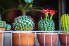 Mammillaria kwitnienia kaktusowy czerwony kwiat dla sprzedaży przy drzewną oceną Zdjęcie Stock