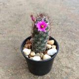 Mammillaria mazatlanensis, Cactus have pink flower, Succulent, Cacti, Cactaceae, Tree, Drought tolerant plant. Mammillaria mazatlanensis, Cactus have pink stock photos