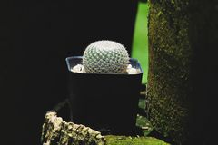 Mammillaria microthele, cactus on pot, cacti, cactaceae, succulent, tree. Drought tolerant plant. Mammillaria microthele, cactus on pot, cacti, cactaceae royalty free stock images