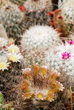 Mammillaria mix in flower. Different color Mammillaria cacti in flower royalty free stock image