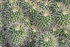 Mammillaria nejapensis Stock Photography