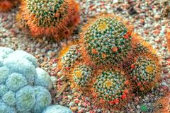 Mammillaria nivosa cactus with long bronze color sikes. And red fruits growing in a rocky soil Royalty Free Stock Photography