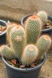 Mammillaria oder Kaktus Lizenzfreies Stockbild